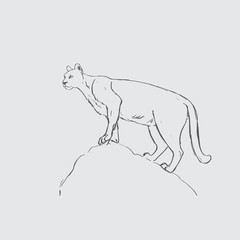Hand draw sketch of cougar - Vector