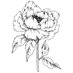 Vector Peony floral botanical flower. Black and white engraved ink art. Isolated peony illustration element.