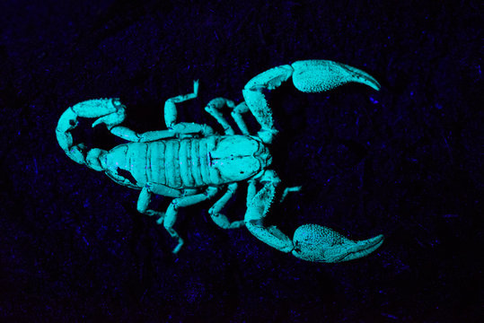 Scorpion under UV light, Scorpiones, Matheran, Maharashtra, India