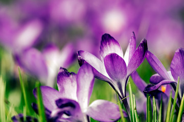Purple Crocus Field 2