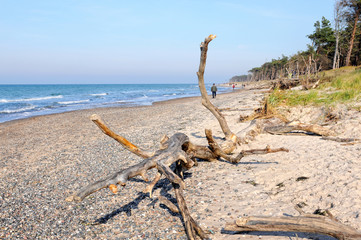 driftwood on the western shore of darss peninsula in germany