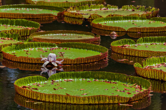 Giant amazonian lily (Victoria amazonica) in water at the Pamplemousess Botanical Garden in Mauritius island.