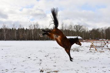 Brykający koń - fototapety na wymiar