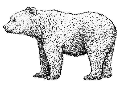 Brown bear illustration, drawing, engraving, ink, line art, vector