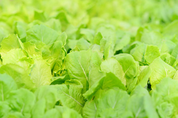 Close up. Cultivated field of lettuce growing. Selective focus.