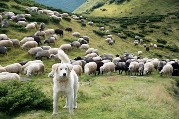 In de dag Schapen A shepherd dog in a tenderness moment with the sheep he guards