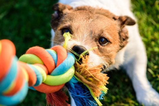 Dog pulls chewing colourful toy cotton rope