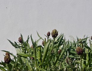 Artichokes Growing in Front of a Whitewashed Wall