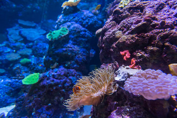Nemo bei einer Koralle im Aquarium