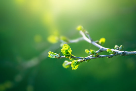 Fresh young green leaves of twig tree growing in spring. Beautiful green leaf nature outdoor background with copy space