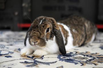 Obraz Uroczy biało brązowy puchaty królik uszatek leży i  odpoczywa na dywanie - fototapety do salonu