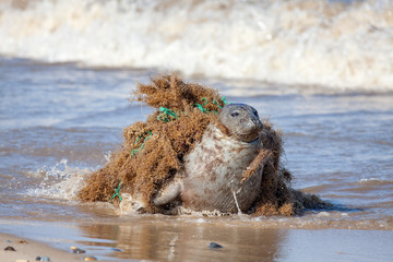 Plastic pollution and animal harm. Seal caught in fishing net.