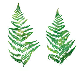 Set of green branches fern on a white background. Forest fern leaf silhouettes with texture. Watercolor illustration.