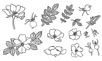 Hand drawn dogrose flowers with ink in vector.