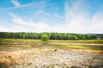 Black sheep in a summer landscape with dry plains