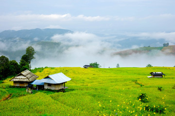 small cottage in golden rice field on mountain