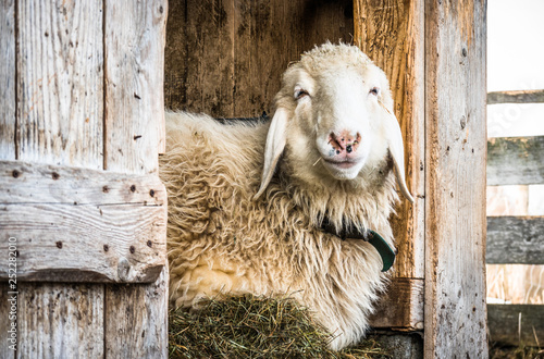 Wall mural cute sheep