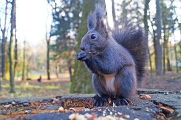 Squirrel with fluffy black fur eating nuts on hemp on a sunny spring day Fototapete