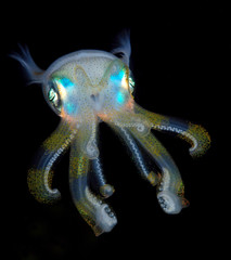 Incredible underwater world - Sepioteuthis lessoniana - Bigfin reef squid.