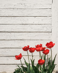Poster Poppy red poppies on wooden background
