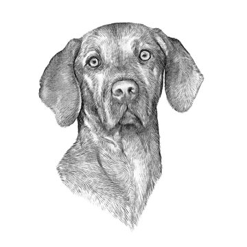 Black and White drawing of Vizsla dog isolated on white background. Weimaraner. Animal art collection: Dogs. Realistic Dog Portrait - Hand Painted Illustration of Pets. Good for banner, card