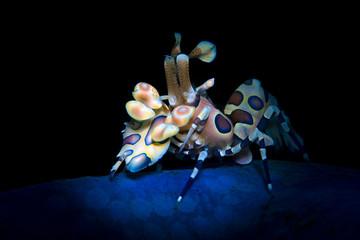Incredible underwater world - Harlequin shrimp - Hymenocera picta. Diving, macro underwater photography in Bali.