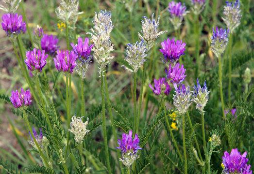 Medicago sativa on a meadow