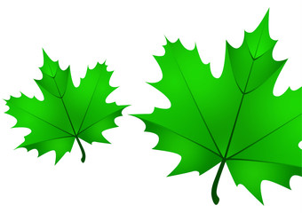 Set of isolated green maple leaves on a white background. Vector illustration