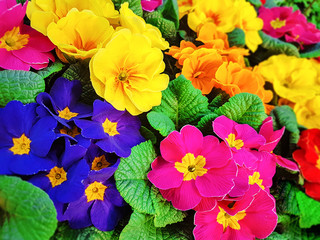 Blooming multi-colored pansy flowers in close-up as a floral background.