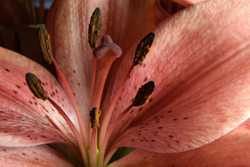 Lilium flower close up. Lily macro with stigma, style, stamens, filament and tepal.