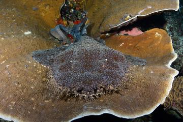 Incredible underwater world - Tasselled wobbegong - Eucrossorhinus dasypogon. Raja Ampat, Indonesia.