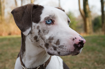 Close up of Catahoula leopard dog with blue eye
