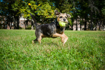 Dog fetches tennis ball