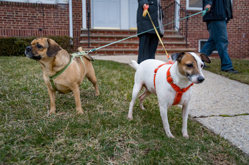 Two small dogs cross leashes