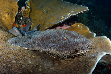Incredible underwater world - Tasselled wobbegong - Eucrossorhinus dasypogon. Raja Ampat, Indonesia.