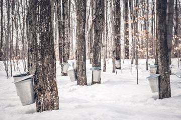 Maple syrup production in Quebec