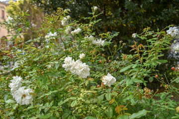 Decorative white roses in the garden by morning in the city
