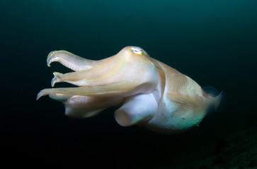 Amazing underwater world - Broadclub cuttlefish - Sepia latimanus. Wide angle underwater photography.
