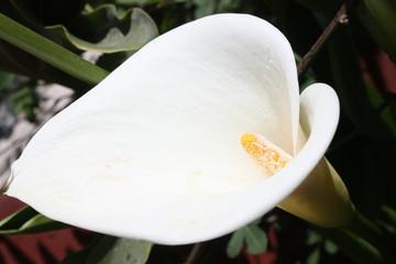 white alcatraz flower