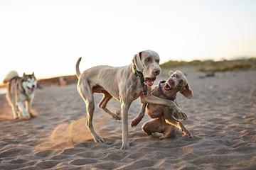 Dogs running near waving sea