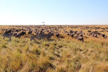 Great migration in the Maasai Mara
