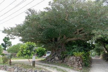 竹富島の木