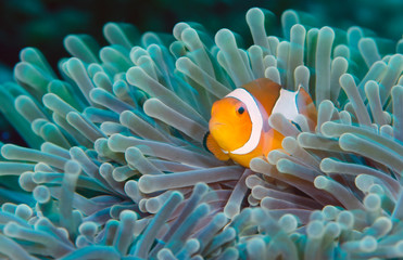 Incredible underwater world - Nemo fish. Macro photography.