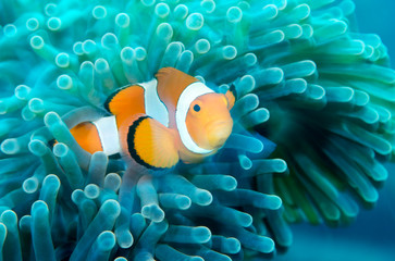 Incredible underwater world - Nemo fish. Macro photography.