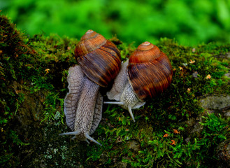 two big brown snails on the moss on the background of green grass, a pair of snails, wildlife, beautiful nature