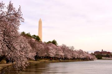 View of Washington Monument and Tidal Basin during peak of Cherry Blossom, Washington DC
