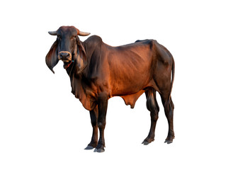 Good brahman male cow isolate on white background,This has clipping path Wall mural