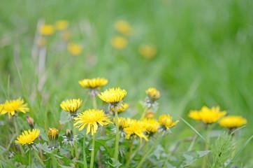 Dandelion in green fields