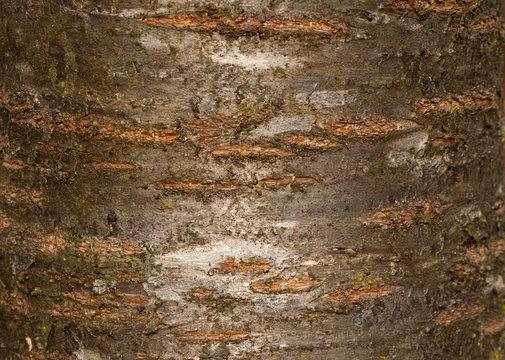 Tree bark texture of Prunus avium or wild cherry with beautiful shiny pattern
