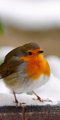 europen robin bird picture in  ratio 2:1 for mobile phone